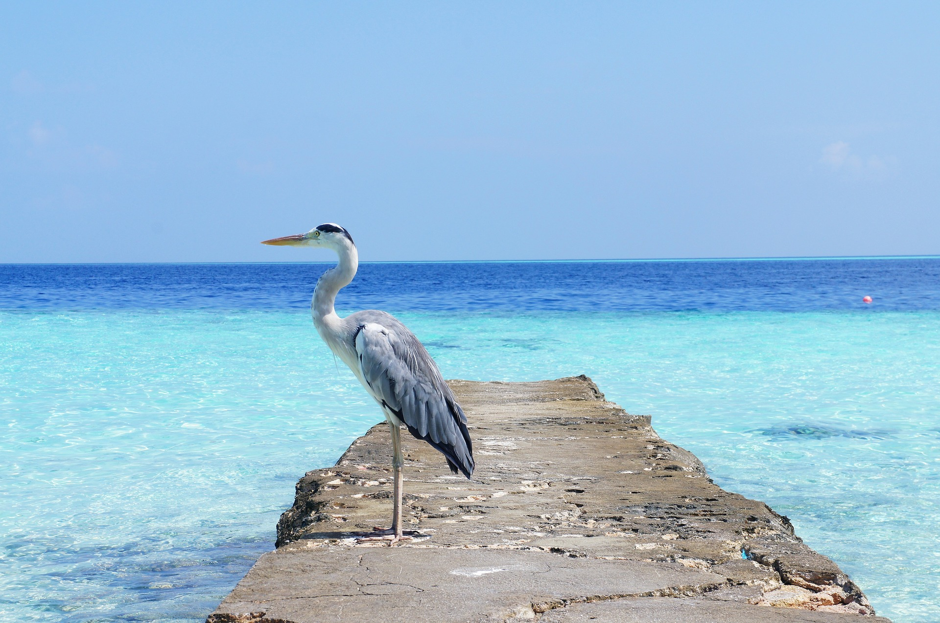 A heron in the Maldives