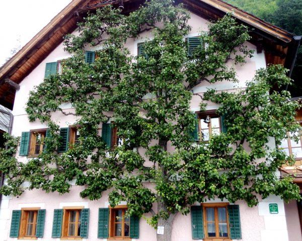 House and tree in Hallstatt