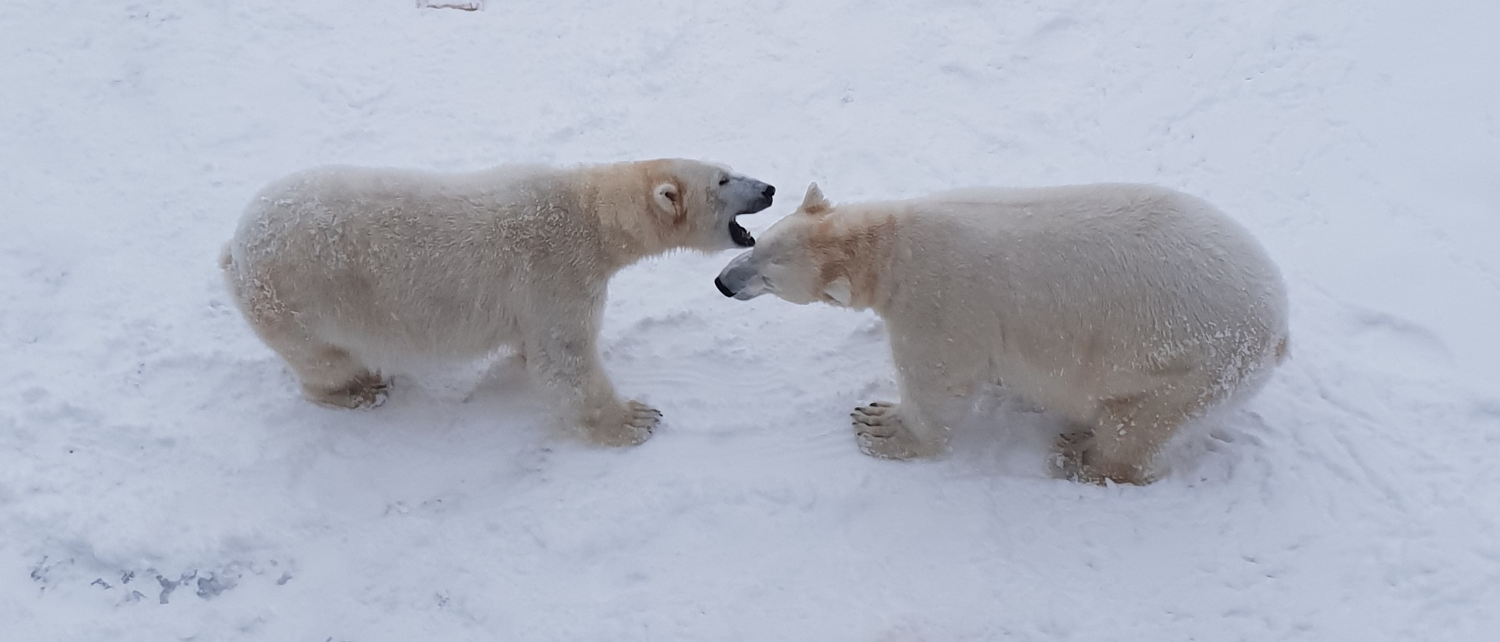 Polar Bears at the Rauna Zoo in Rovaniemi, Lapland Finland